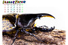Beetle03 (海龍蛙兵) Tags: insect beetle taiwan goliathus magasoma