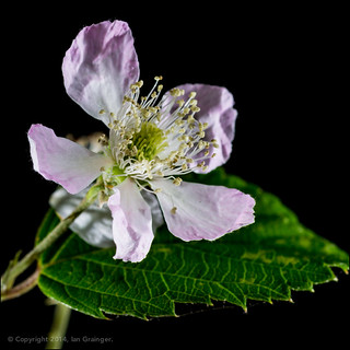 89/100 - Bramble Blossom
