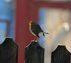 Robin (bbic) Tags: bird robin