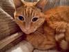 Molly Portrait (III) (gtncats) Tags: cat bigeyes feline tabby orangetabby autofocus greatphotographers felinefaces photographyforrecreation frameitlevel01 canonpowershotg16 infinitexposure