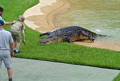 """Danger, Robert Irwin"". (Simonsnapz) Tags: robert zoo feeding australia irwin crocodiles"