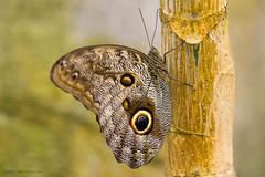 Orchideenhoeve (judithvanagthoven) Tags: butterfly nederland tuin dieren arthropoda vlinders orchideen tropische luttelgeest geleedpotigen