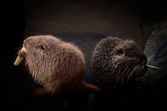 Young Nutrias (armelle chapman) Tags: wild color nature animal rodent rat riverside wildlife sony young rivire raccoon alpha couleur nutria sauvage jeune coypu rongeur ragondin juvnile