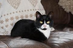 Kitty Cat (Joe Conroy Photography) Tags: blackandwhite bw macro leather animal cat lens furry chair nikon flash lounge kitty inside staring cushion lightroom kittycat purring yelloeeyes d3100