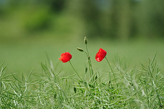 Red on Green - Beautiful Poppy  (lichtspuren) Tags: red summer green rot ed pentax sommer 300mm da poppy sdm grn f4 mohn k20d