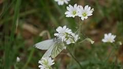 Schmetterling / butterfly (ursula.kluck) Tags: butterfly panasonic nahaufnahme schmetterling tagfalter weiseblten weisling lumixgx8
