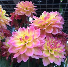 Pink & Yellow Dahlias (stashheap) Tags: pink flowers yellow dahlias