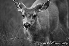 Not Shy (gossettphotography) Tags: california blackandwhite canon wildlife yosemite yosemitenationalpark muledeer 400mm cooksmeadow