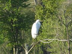 Great Egret by SpeedyJR (SpeedyJR) Tags: beverlyshoresin 2016janicerodriguez greategret egrets birds wildlife nature beverlyshoresindiana indiana speedyjr