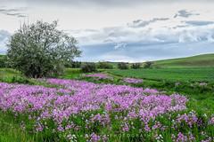 Field of Wild Phlox (DeniseDewirePhotography) Tags: trees field grass clouds washington spring wheat pullman wildflowers wildphlox