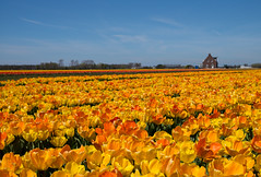 Spring in Holland (romanboed) Tags: leica flowers house holland netherlands dutch rural landscape countryside spring tulips farm m agriculture 50 summilux 240 keukenhof fileds