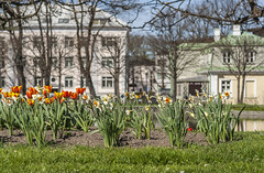 Springtime In The City Park (AudioClassic) Tags: park new pink plant flower tree nature colors closeup fruit season cherry outdoors leaf spring flora tallinn estonia branch purple blossom gardening softness tulip grown freshness springtime elegance newlife flowerhead