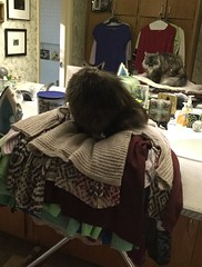 Is that soft enough for you, Dusty? (Philosopher Queen) Tags: dusty cat closet clothing chat soft sweaters kitty gato springcleaning