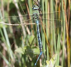 Emperor dragonfly Ymerawdwr (alunwilliams155) Tags: dragonfly odonata anaximperator ymerawdwr