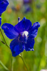Royal Larkspur (CharlesCRussell) Tags: native wildflowers endemic delphinium redbudtrail