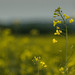Oilseed Rape at dusk