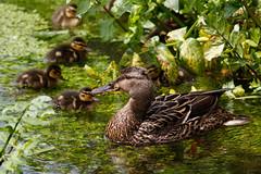 _F0A9703.jpg (Kico Lopez) Tags: birds rio spain aves galicia lugo mio anasplatyrhynchos anadeazulon