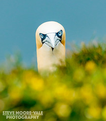 What are you looking at? Northern Gannet. (Steve Moore-Vale) Tags: flowers sea portrait bird face yellow wildlife cliffs gannet morus rspb bempton bassanus stevemoorevale