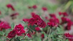 Mini Roses (bamboosage) Tags: auto m42 18 yashica yashinon f55cm