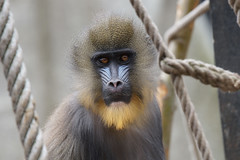 Zoo Amsterdam (Ha-Jue) Tags: amsterdam zoo artis affe sal70400g sonya99