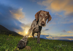 Weimaraner, dog (Albert Photo) Tags: wild dog pet plant game green grass smart animal happy outdoor watch hunting large free depthoffield weimaraner royalty confidence gundog