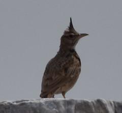 DSC_0071_crested lark (nbc_2011) Tags: bird animalplanet planetearth crestedlark galeridacristata