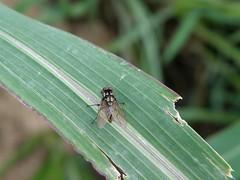 20090629_522 (carlos mancilla) Tags: insectos flies moscas olympussp570uz