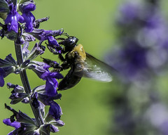 Bee_SAF7720 (sara97) Tags: flower nature insect outdoors bee missouri endangered saintlouis citypark towergrovepark urbanpark pollinator photobysaraannefinke copyright2016saraannefinke