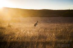 Sunset over the Gawler Ranges (Hamish Mckay) Tags: sunset sun nature canon shine wildlife south ngc australia roadtrip ranges kangaroo outback sunrays grassland roo gawler leefilters
