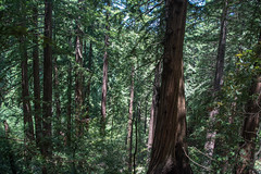 Forest - Muir Woods National Monument - Marin County - California - 08 June 2016 (goatlockerguns) Tags: sanfrancisco california county trees usa mountains west monument nature forest coast nationalpark woods natural hiking marin unitedstatesofamerica coastal national bayarea nationalparks sausalito muir millvalley northbay