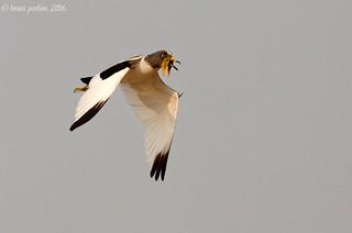 White-headed Lapwing, Vanneau à tête blanche (Vanellus albiceps) - Stanley Pool, Congo River, Brazzaville, CONGO