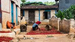 [Shan State, Myanmar] (Paul Bergot) Tags: work asia southeastasia chili outdoor burma myanmar inle shan shanstate kalaw flickraward