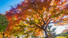 Japanese Maple (stuanderson7) Tags: serene outdoor tree japanesemaple landscape color fall