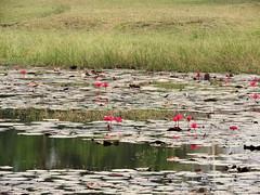 Shaluk (kaushb) Tags: flora santiniketan bolpur