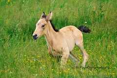 Gucci (PhotOw'graphie) Tags: horse nature animal cheval animaux extrieur chevaux foal poulain galop