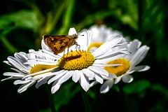 Daisy Sipper (Portraying Life) Tags: butterfly unitedstates michigan skipper daisy handheld closecrop nativelighting