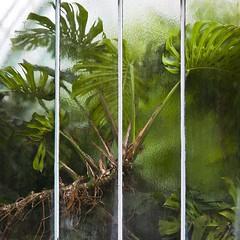 Phytologie (Gerard Hermand) Tags: 1606102154 glasshouse plante plant gerardhermand france paris eos5dmarkii auteuil glass green greenhouse pane serre verre vert vitre canon