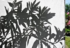 Behind The Blazing Sun (Konny D.) Tags: oleander oleandro adelfa cortina teln curtain drapes verho gordijn forheng ridn shadows schatten ombra skugga skygge ombre ombres sombras varjot