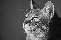 Silent Protection (michelevico) Tags: portrait bw pet home animal proud cat eyes friend domestic silence protection controle concentrate