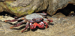 Chomp (6079 Jones,P) Tags: nature puerto wildlife crab moorish gran canaria mogan grapsus