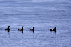 Four of a kind - black and white on blue (stevelamb007) Tags: california blue sea blackandwhite birds bay monterey nikon wildlife montereybay sigma pacificocean waterfowl 0cean stevelamb d7200 150600mmcontemporary
