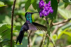 Male Crowned Woodnymph-Q0381 (Thalurania columbica) (dennis.zaebst) Tags: bird nature costarica hummingbird ngc na centralamerica 1dx naturesspirit naturethroughthelens crownedwoodnymph ef100400lismarkii