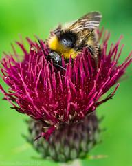 sweet nectar (RCB4J) Tags: flowers macro art nature closeup insect photography feeding wildlife bee bumblebee nectar tamronspaf90mmf28dimacro11 sonyslta77v ronniebarron rcb4j