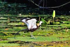 ~~  Hydrophasianus chirurgus (Shangfu Dai) Tags:  taiwan nikon d800 tamron150600mm formosa      hydrophasianuschirurgus   bird taichung
