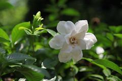 Gardenia jasminoides (eyawlk60) Tags: white beautiful canon eos 5d     commongardenia