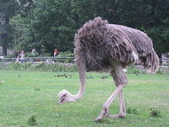 an ostrich (VERUSHKA4) Tags: ostrich animal europe russia canon moscow zoo nature city legs walking grass vue ville view bird fauna body head neck bush people tree verdure fence beak eye astounding image