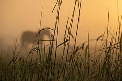 Misty morning (Infomastern) Tags: horse mist fog sunrise landscape countryside soluppgng landskap dimma hst geolocation sdersltt landsbygd geocity camera:make=canon exif:make=canon geocountry geostate exif:lens=efs18200mmf3556is exif:focallength=140mm exif:aperture=71 exif:isospeed=100 camera:model=canoneos760d exif:model=canoneos760d