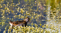 20160706-IMG_6969 Sora in the flowers (grammiev) Tags: bird small waterfowl sora shorttail secretive porzanacarolina stronglegs freshwatermarshes groundforager shortyellowbill mostcommonandrailinnorthamerica whinnycall