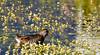 20160706-IMG_6969 Sora in the flowers (grammiev) Tags: bird small waterfowl sora shorttail secretive porzanacarolina stronglegs freshwatermarshes groundforager shortyellowbill mostcommonandrailinnorthamerica whinnycall