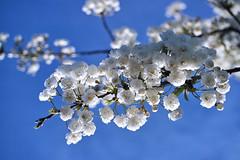 Spring Blossom (pallab seth) Tags: mist flower colour macro london nature garden evening spring blossom bokeh dusk blossoms depthoffield barkingpark samsungnx2000 samsung60mmf28macroedoisssalens